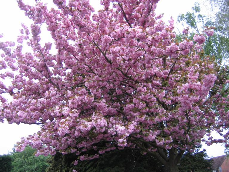Cerisier en fleur dans une école française